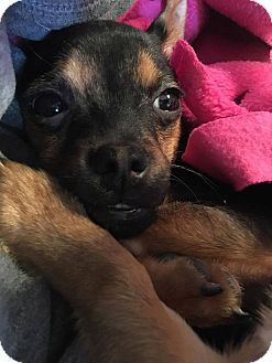 Chihuahua Mix Puppy for adoption in Denver, Colorado - Archie