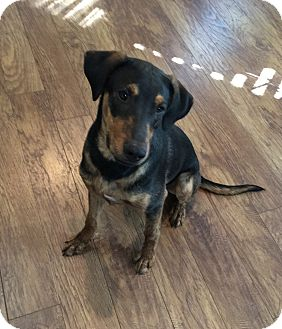 Coonhound (Unknown Type)/Plott Hound Mix Puppy for adoption in Beaumont, Texas - ASH
