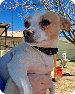 Chihuahua Mix Dog for adoption in Schertz, Texas - Tarzan JH