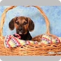 Adopt A Pet :: Sage - Pittsboro, NC