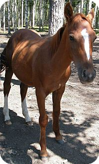 Arabian/Quarterhorse Mix for adoption in Sundre, Alberta - Shadow