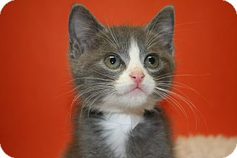 Domestic Shorthair Kitten for adoption in SILVER SPRING, Maryland - ASIA