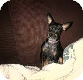 Miniature Pinscher Dog for adoption in Quentin, Pennsylvania - Jelly Bean - Soooo Cute!