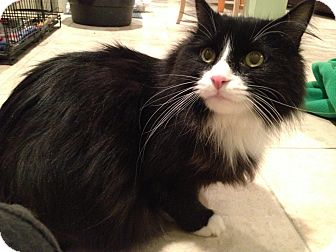 Maine Coon Cat for adoption in East Hanover, New Jersey - Mittens