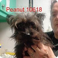 Adopt A Pet :: Peanut - baltimore, MD