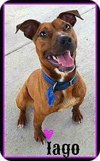 American Pit Bull Terrier Mix Dog for adoption in Charlotte, North Carolina - Lego
