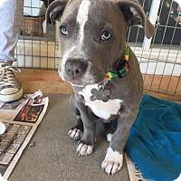 Adopt A Pet :: Pippo the Pibblepottomus - Manhattan Beach, CA