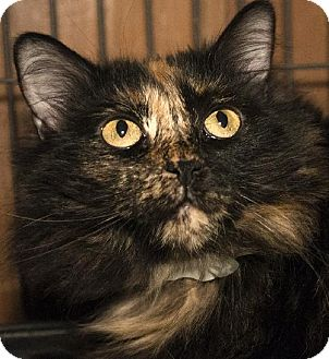 Maine Coon Cat for adoption in Grand Ledge, Michigan - Lalasa