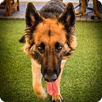 Adopt A Pet :: Gimzo - Phoenix, AZ
