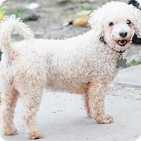 Adopt A Pet :: Tiara - MEET HER - Norwalk, CT
