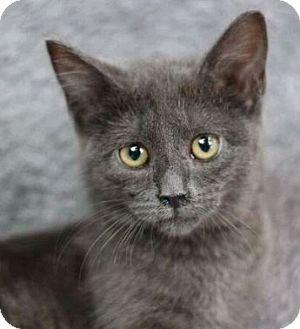 Domestic Mediumhair Cat for adoption in Raleigh, North Carolina - Eris