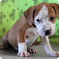 Adopt A Pet :: Amanda - Chester Springs, PA
