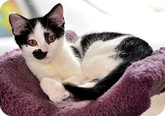Domestic Shorthair Kitten for adoption in Taftville, Connecticut - Monkey Man