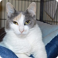 Domestic Shorthair Cat for adoption in Middletown, Ohio - Evee