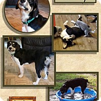 Adopt A Pet :: Bailey - Malakoff, TX
