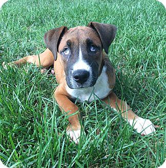 HARRISBURG, PA - German Shepherd Dog/Golden Retriever Mix. Meet GRETA ...
