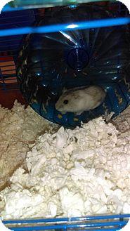 Hamster for adoption in Lancaster, California - Happy