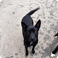 Corgi/Labrador Retriever Mix Dog for adoption in Mission, Kansas - Sable
