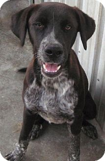 German Shorthaired Pointer Mix Dog for adoption in Tahlequah, Oklahoma - Fable