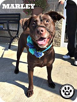 Labrador Retriever/Spaniel (Unknown Type) Mix Dog for adoption in Kimberton, Pennsylvania - Marley