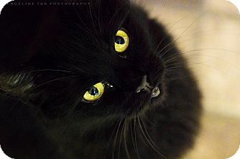 Domestic Longhair Cat for adoption in Houston, Texas - J.J.