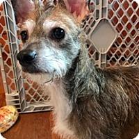 Adopt A Pet :: SUZIE - ST LOUIS, MO