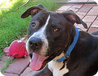 American Staffordshire Terrier/Labrador Retriever Mix Dog for adoption in Phoenix, Arizona - Sully