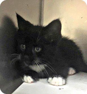 Domestic Shorthair Kitten for adoption in Flint, Michigan - Mickey