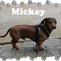 Adopt A Pet :: Mickey - Fallston, MD