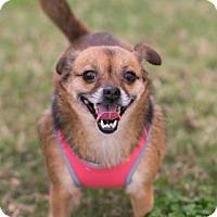 Adopt A Pet :: Dixie C - Santa Fe, TX
