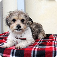 Adopt A Pet :: Zizi - Los Angeles, CA