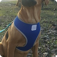Adopt A Pet :: FLYNN - Cranston, RI