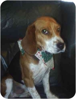 Beagle Dog for adoption in cedar grove, Indiana - Jimmy
