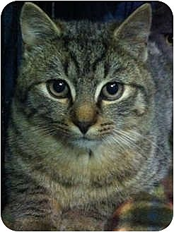 Domestic Shorthair Cat for adoption in Trexlertown, Pennsylvania - Spidey