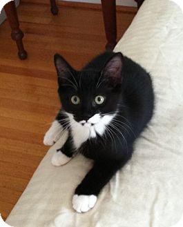 Domestic Shorthair Kitten for adoption in Jenkintown, Pennsylvania - Minnie