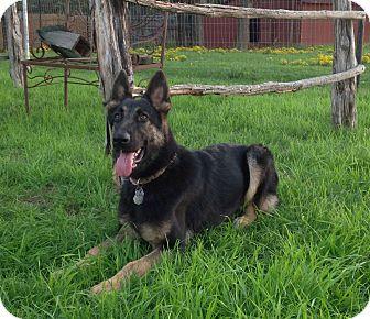 malkia adopted puppy keller tx german shepherd dog