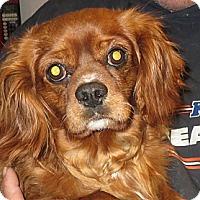 Adopt A Pet :: Charlie Brown - Salem, NH