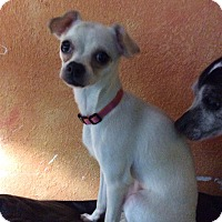 Adopt A Pet :: Molly - S. Pasedena, FL