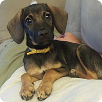Adopt A Pet :: Dharma - Middlesex, NJ