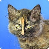 Adopt A Pet :: Velvet - Carencro, LA