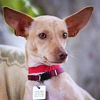 Basenji/Chihuahua Mix Dog for adoption in El Cajon, California - Doe