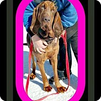Bloodhound Mix Dog for adoption in Wantagh, New York - Haile