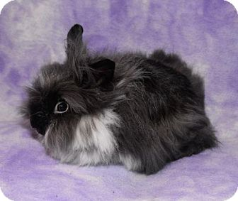 Lionhead Mix for adoption in Chesterfield, Missouri - Franz and Franco