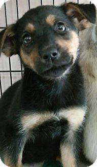 Chihuahua Mix Puppy for adoption in middle island, New York - SUMMER