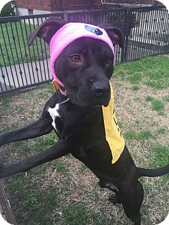 Boxer/Labrador Retriever Mix Dog for adoption in Kittery, Maine - CONLEY