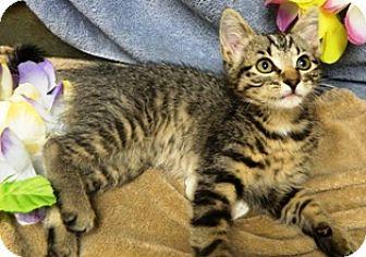Domestic Shorthair Kitten for adoption in Columbus, Nebraska - Libby