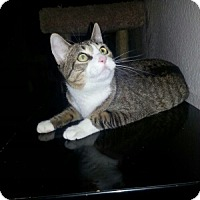 Domestic Shorthair Cat for adoption in Tempe, Arizona - Tina
