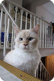 Siamese Cat for adoption in Lindsay, Ontario - Raj