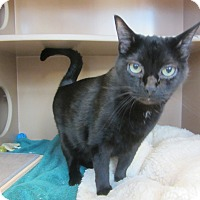Domestic Shorthair Cat for adoption in Kingston, Washington - Jet