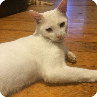 Domestic Shorthair Cat for adoption in Allentown, Pennsylvania - Lars